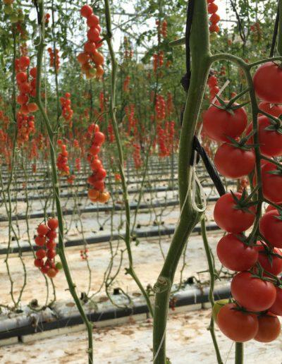 pomodoro ciliegino di altissima qualità ,